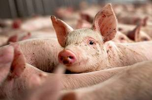 Как выявить и чем опасна африканская чума у свиней