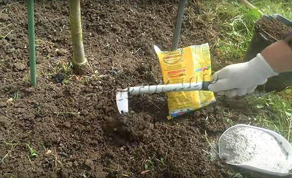 Описание и правила выращивания груши дюшес