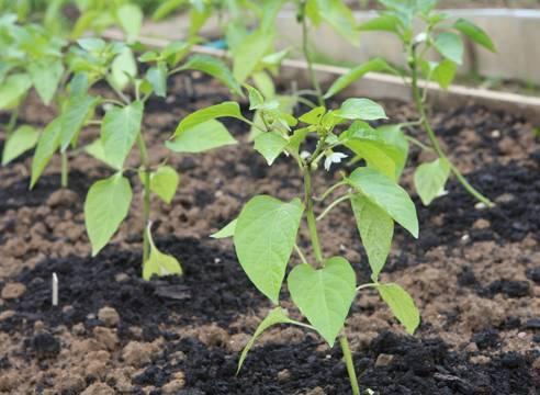 Перец болгарский: когда сажать на рассаду, как правильно сеять семена, правила посадки и ухода