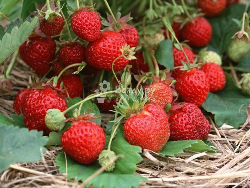 Чем подкормить клубнику весной: удобрения для урожая