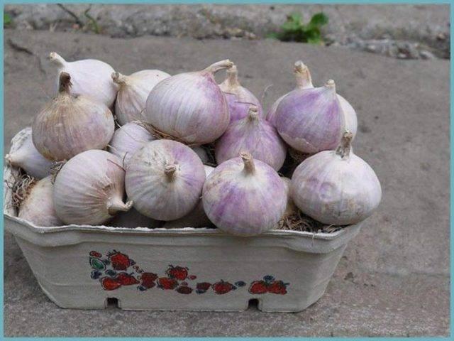 Чеснок любаша: описание сорта и его достоинства, урожайность с 1 га, правила посадки и ухода, борьба с болезнями и вредителями, а также лечебные свойства овоща
