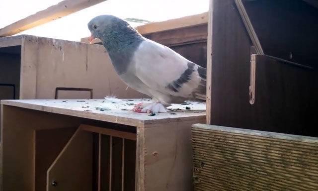 Небесные акробаты: турецкие голуби такла