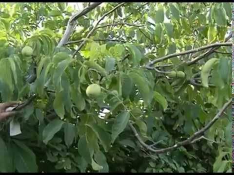 Грецкий орех: выращивание в саду