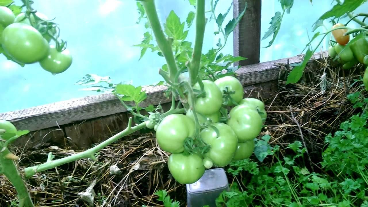 Сказка: описание сорта томата, характеристики помидоров, посев