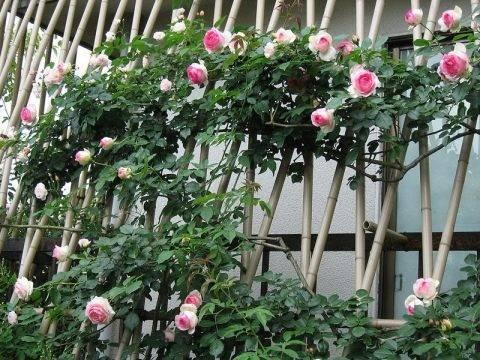 Как сделать красивую и прочную опору для плетистой розы своими руками