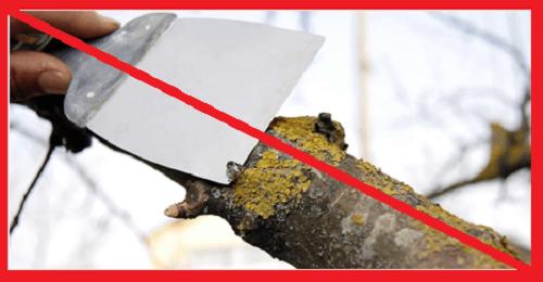 Как избавиться от лишайника на яблоне и предупредить его