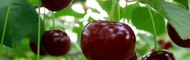 Как избавиться от поросли вишни на участке в саду навсегда своими руками