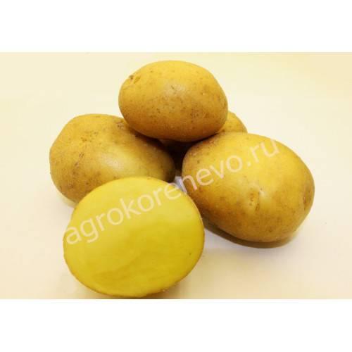 Картофель Краса: описание сорта, фото
