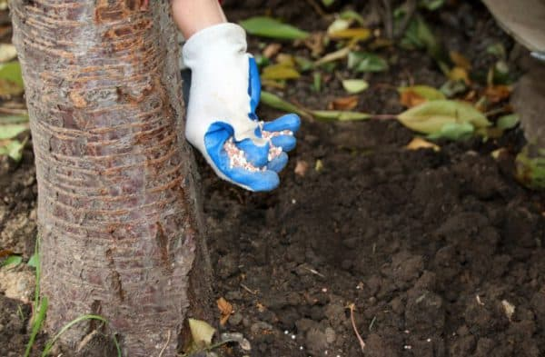 Все нюансы внесения удобрений для грушевых деревьев