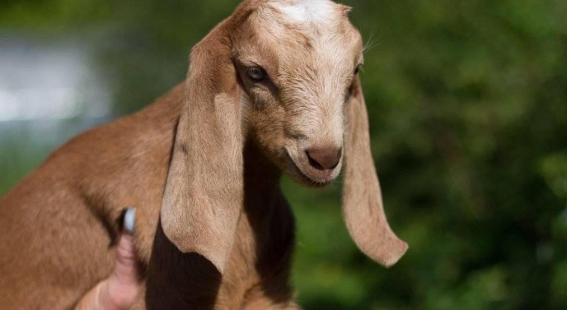 Англо-нубийская порода коз - общая информация - 2020