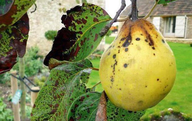 Сода для лечения яблони от парши. парша яблони и груши