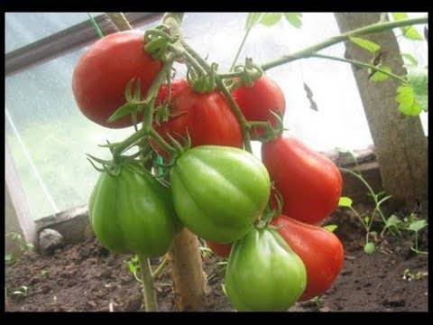 Японский сорт томата черный трюфель — до 6 кг с одного куста!