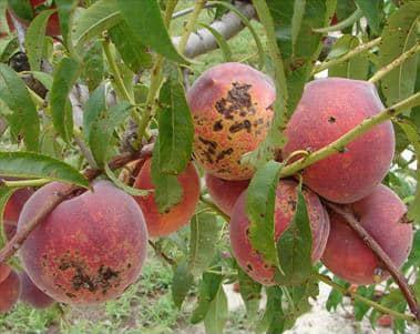 Болезни персика. обработка, препараты. выращивание персика