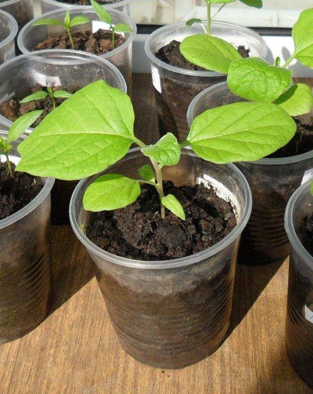 Хорошие сорта баклажанов для открытого грунта: лучшие ранние и среднеспелые сорта «синеньких»