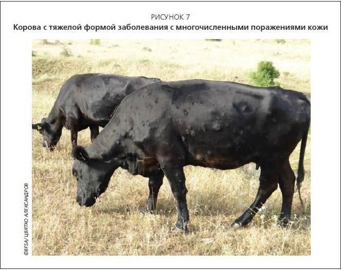 Чем лечить актиномикоз у коровы