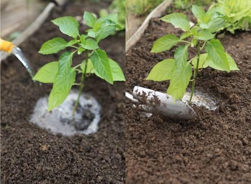 Посадка перца на рассаду: как посеять и вырастить рассаду перца в домашних условиях | топ огород