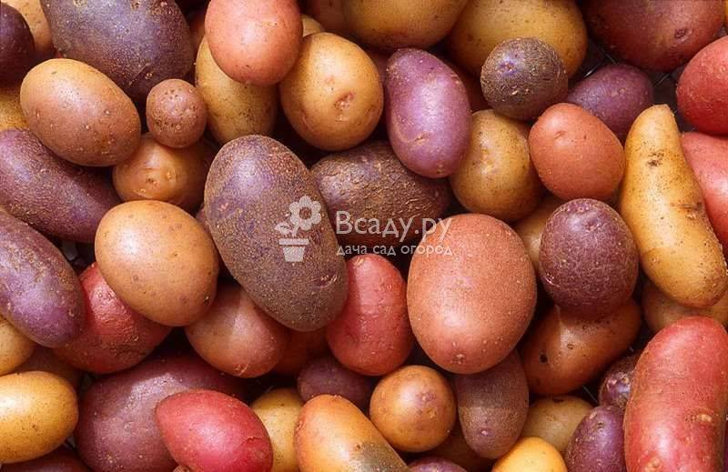 Картофель жуковский — описание сорта, фото, отзывы, посадка и уход