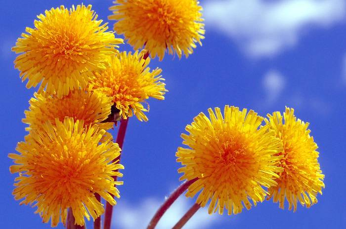 Мед из одуванчиков: полезные свойства, вред и как принимать | польза и вред
