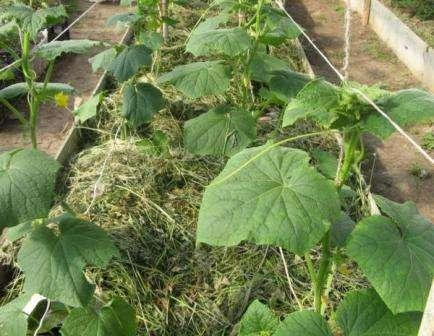 Почему огурцы не растут, хотя завязей много: как добиться урожая
