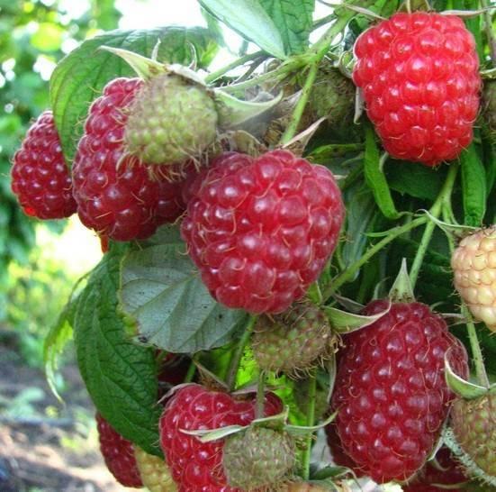 Особенности культивирования малины в южных областях