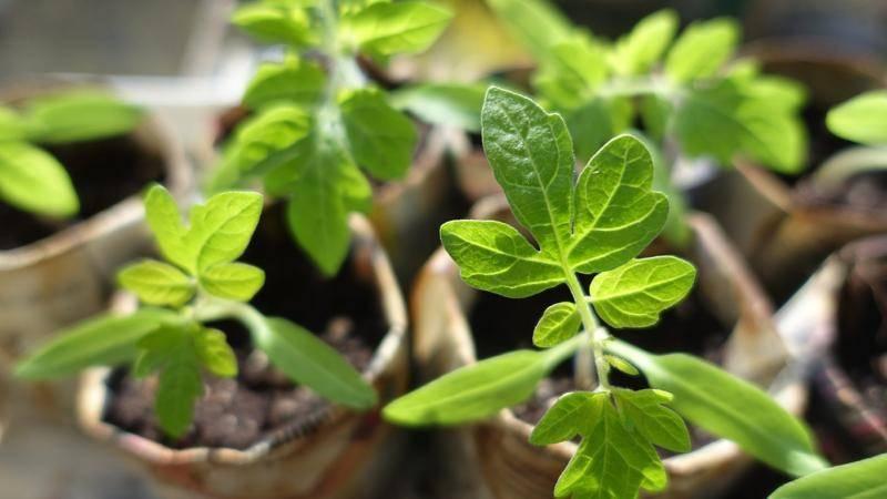 Почему у рассады томатов желтеют, сохнут и скручиваются листья
