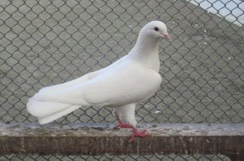 Высоколетные голуби: видео, фото, описание пород