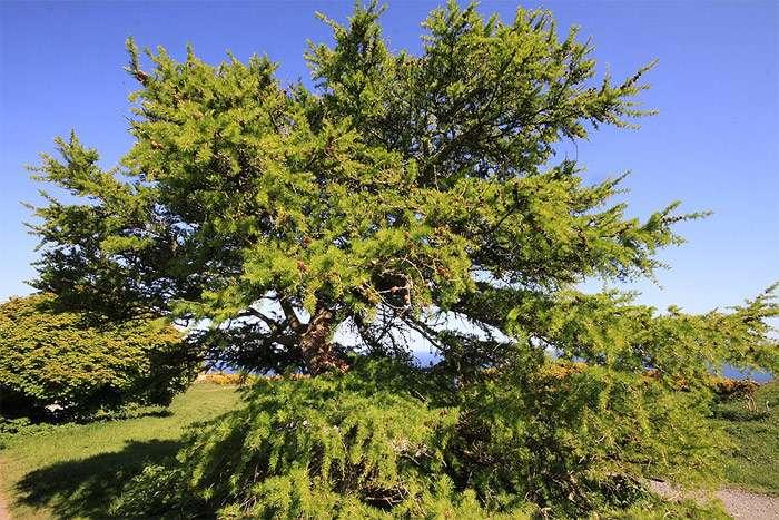 Какое дерево скидывает иголки на зиму. правда, что хвойные деревья сбрасывают на зиму иголки? хвойные деревья с опадающей на зиму хвоей