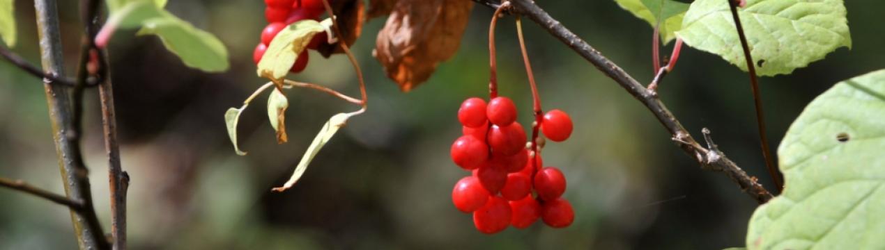 Магнолия посадка и уход в открытом грунте размножение