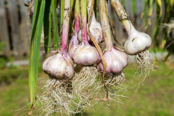 Можно ли сажать озимый чеснок весной, как яровой: когда именно в этот период, что будет, если его выращивать в такое время, опасны ли ранние заделывания в грунт?