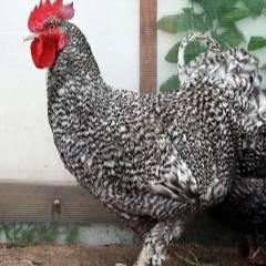 Порода кур мехеленская кукушка