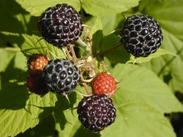 Малина кумберленд: важные рекомендации по выращиванию сорта