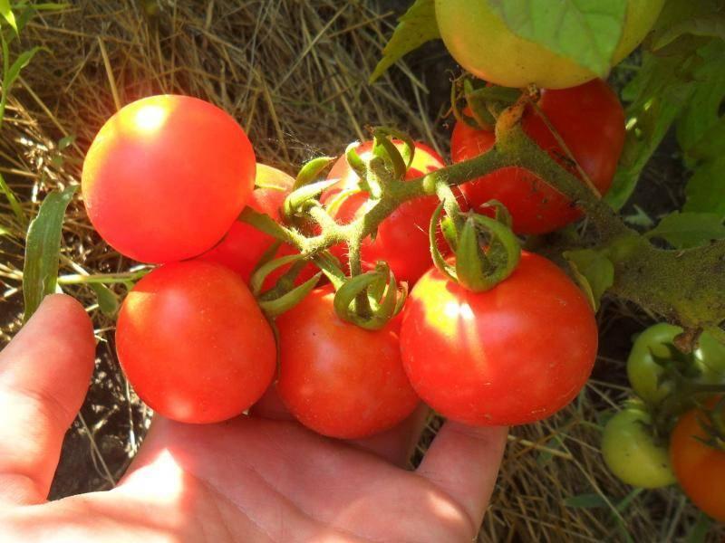 Особенности гибридного сорта томатов бобкат f1