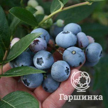 Голубика садовая норт блю: описание и характеристики сорта, уход и выращивание