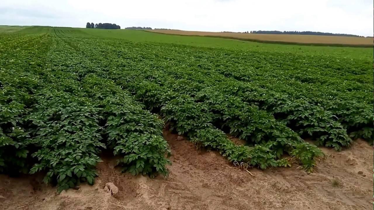 Устойчивый к самым суровым условиям — картофель карлингфорд: описание сорта и отзывы