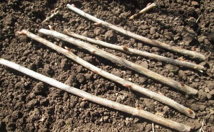 Вегетативные способы размножения смородины: черенками, отводками и делением куста