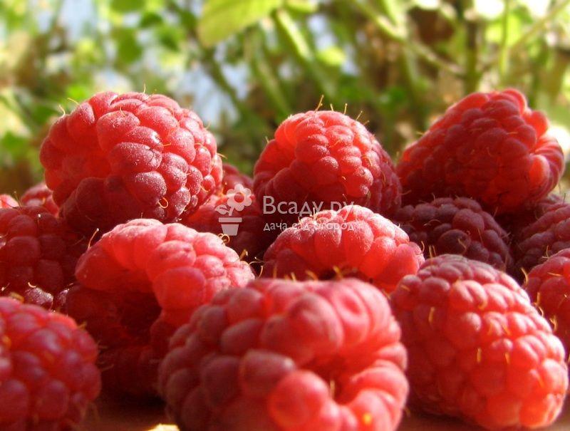 Малина маросейка: фото и описание, отзывы садоводов, урожайность, особенности выращивания