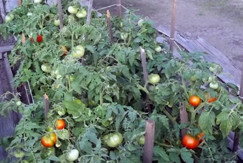 Описание сорта томата крайний север и его характеристики