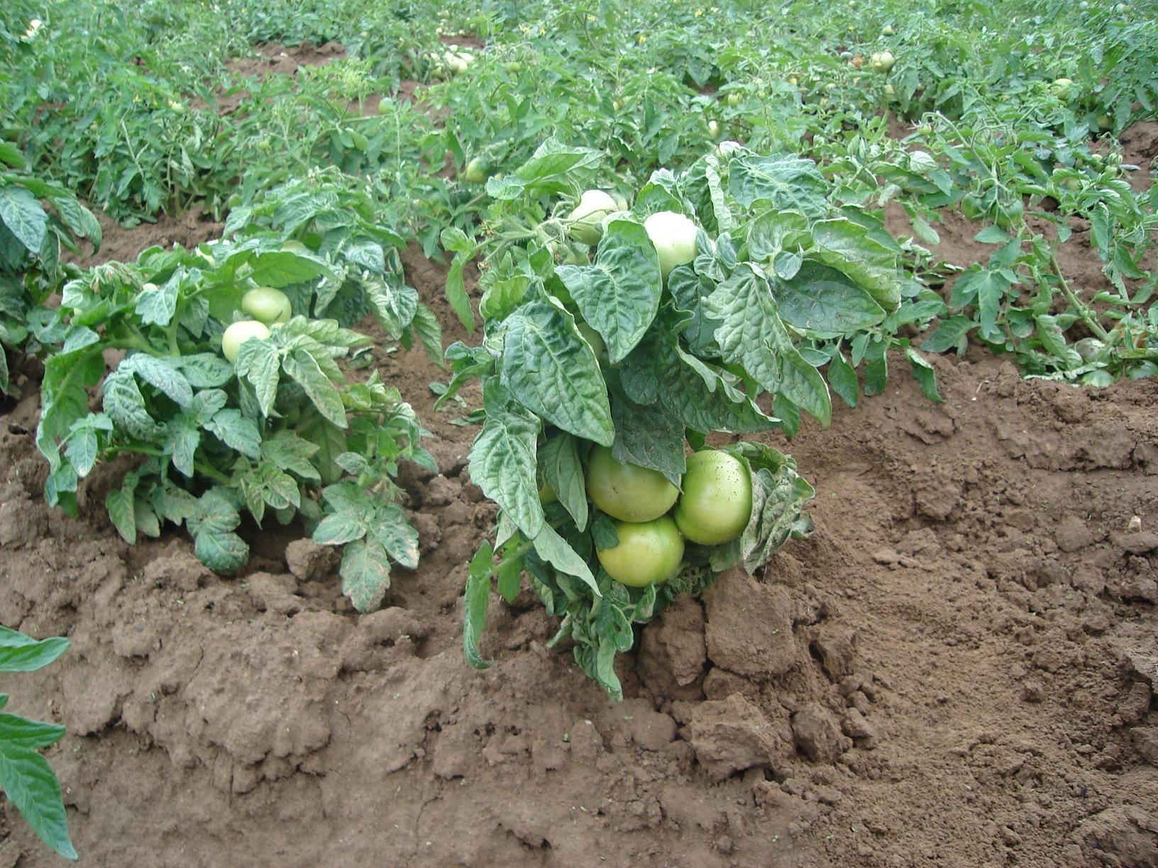 Аккуратные плоды с отменным вкусом — томат аня: описание сорта и особенности выращивания