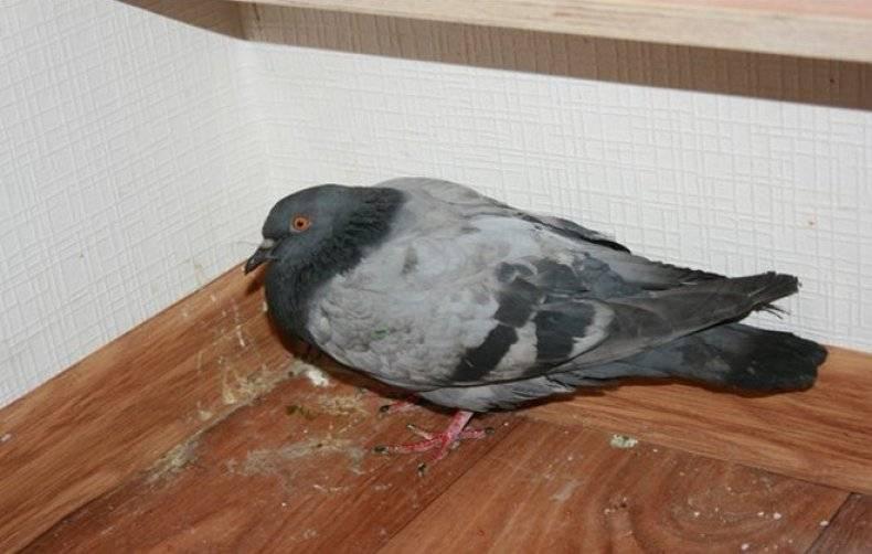 Симптомы и лечение распространённых болезней голубей