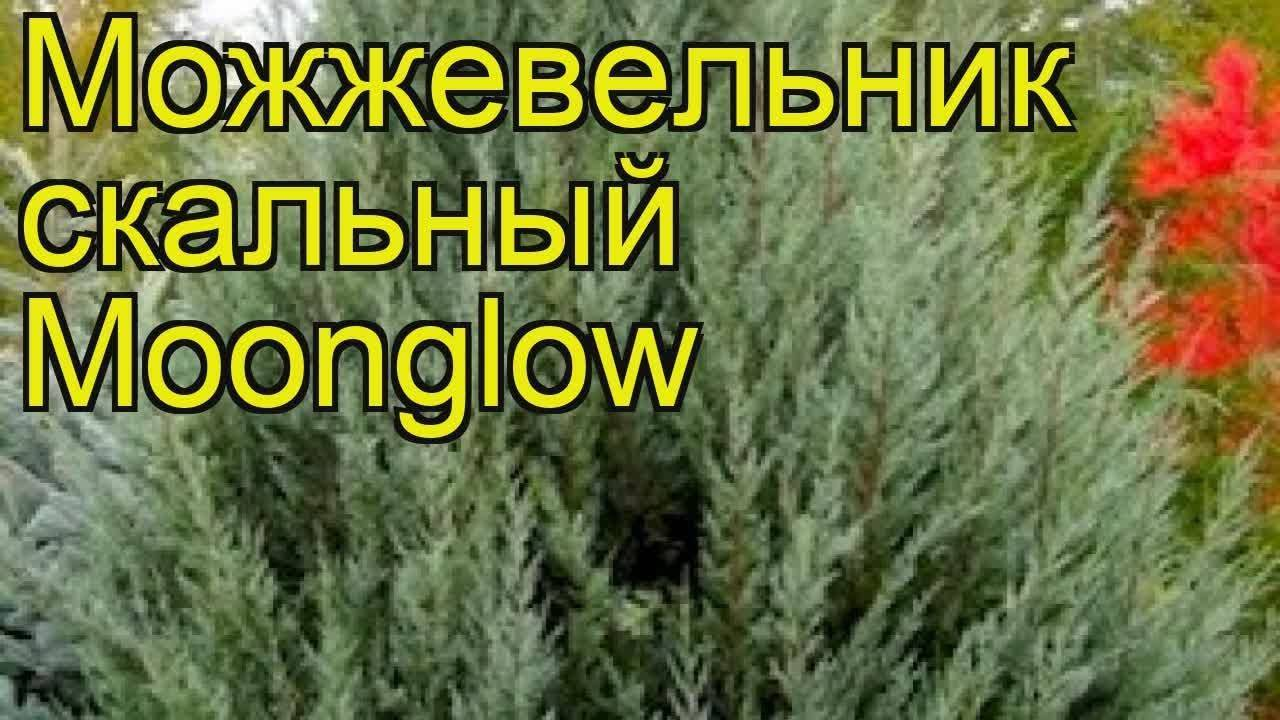 Можжевельник скальный «мунглоу»: описание, посадка и уход
