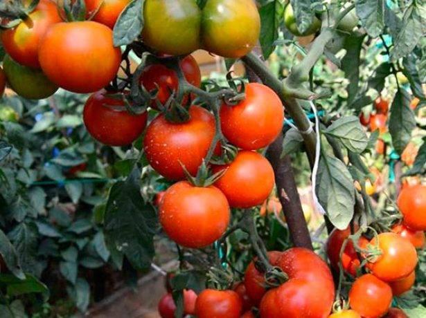 Томат «черри ира» f1: описание сорта, фото, особенности посадки и ухода за помидором
