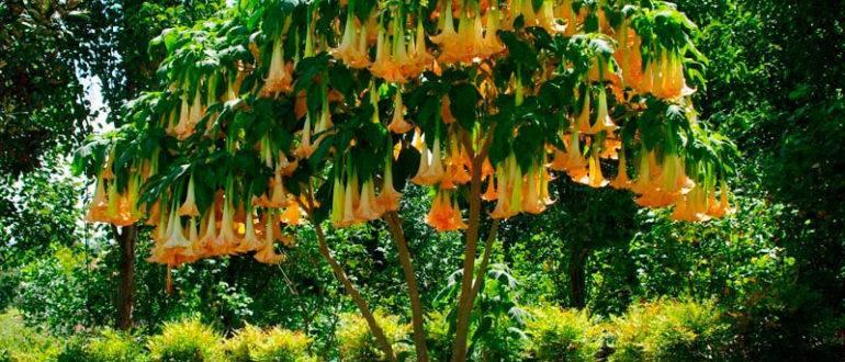 Juniperus conferta golden wings описание
