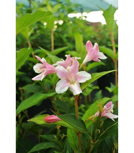 Вейгела цветущая пинк принцесс посадка и уход