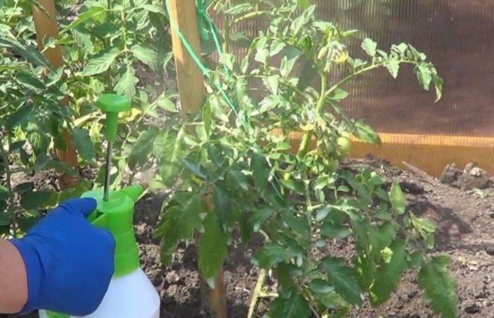 Что такое фитофтороз помидоров и как его лечить