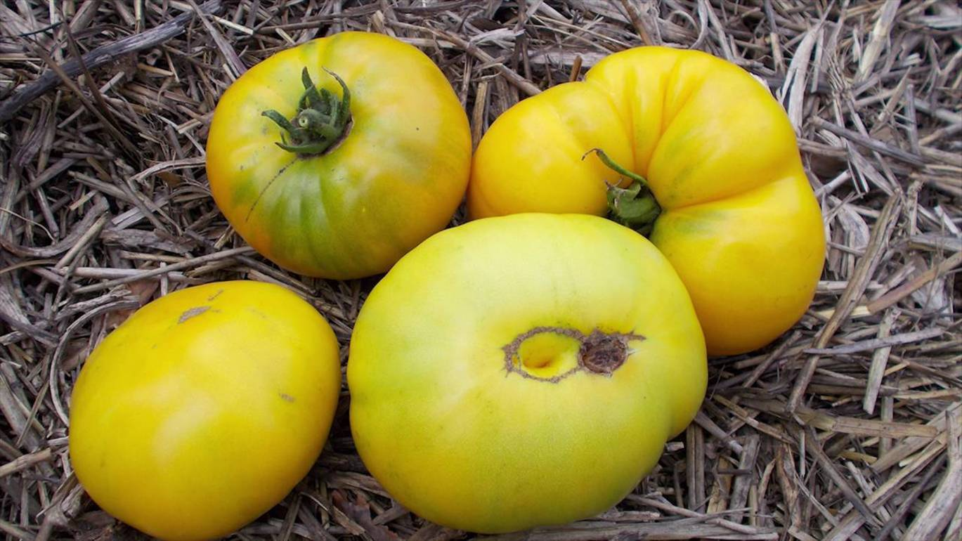 Томат тяжеловес сибири: описание сорта, выращивание и отзывы дачников