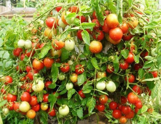 Томат никола: характеристика и описание сорта, урожайность отзывы фото кто сажал