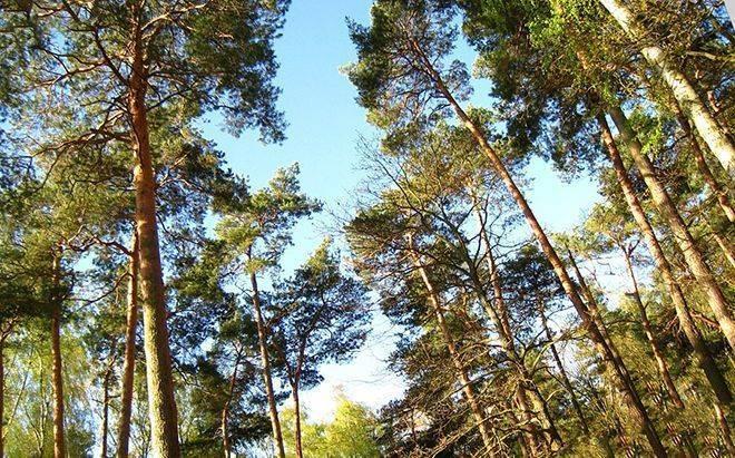 Сосна мафусаил - древнейшее дерево на планете земля