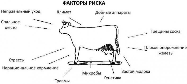 Как лечить мастит у коров народными средствами?