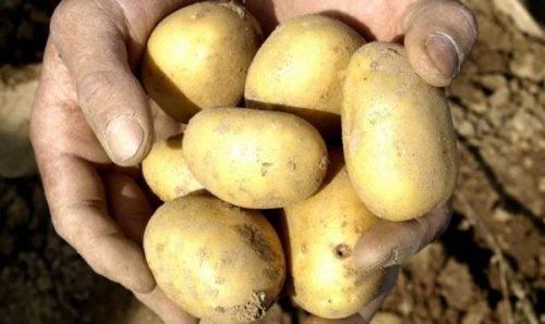 Джувел – урожайный картофель из германии. описание, плюсы, минусы, инструкция по выращиванию