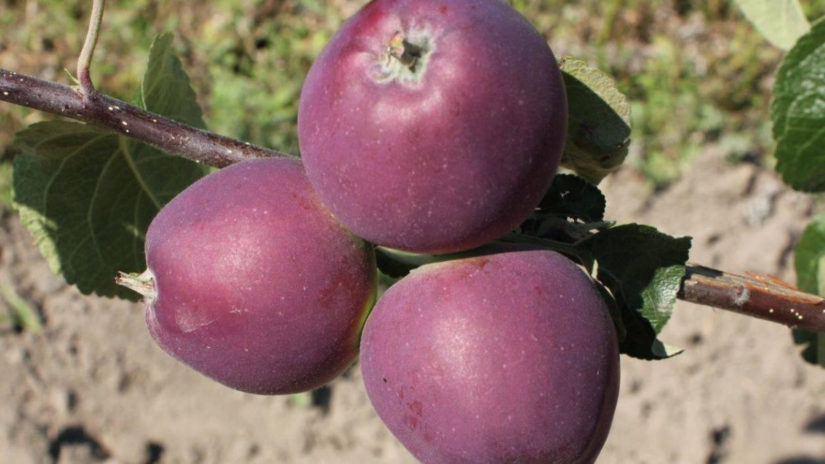 Уральская яблоня аксена